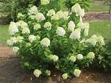 ... Garden Ideas: Lovely White Limelight Hydrangea For Green Plants Garden