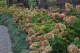... Garden Ideas: Lovely Pink Limelight Hydrangea With Green Plant Garden