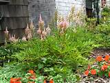 astilbe self seeding perennial flower