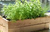 10 Herbs You Can Grow in Containers