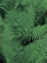 Many species of ferns grow well in partial shade.
