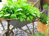 One last cool idea to leave you with....Lettuce in a wheel barrow. Why ...