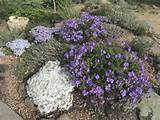 it with some hybrid vigor here growing in the rock alpine garden