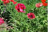 poppies in the corner garden