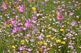 annuals mixture meadow in my garden summer flowers collection