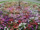 english flower garden roses