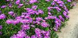 ice plant delosperma sp quickly spills over walls and ledges