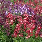 home flowers perennials cottage garden perennials perennial hardy