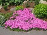 ten vivid pink garden plants