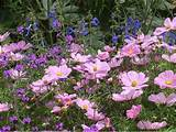 purple perennial flowers rose gardening made easy types of