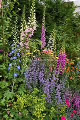 early summer garden of Nepeta catmint, tall vertical perennial plants ...