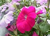 Posted in Flower | Tags: Common Garden Petunia , Garden Petunia