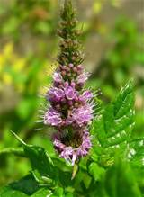 Common garden mint flower