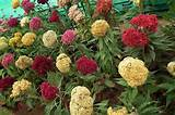 Common Cockscomb Celosia