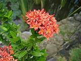 santan native to india a very common low hedge in the philippines