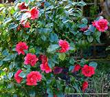 dona herzilia japonica flowers garden plants donna shade shrubs