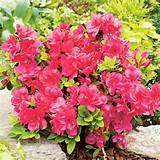 Home Garden Flowers Trees and Shrubs Azalea japonica Plant - Mothers ...