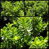 ... and Lime Plants x 10 Garden Hedge Hardy Flowers Shrubs Veronica $29.90