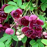 home garden flowers trees and shrubs chocolate vine plant