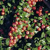 Home Garden Flowers Trees and Shrubs Cotoneaster suecicis Plants ...