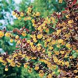 home garden flowers trees and shrubs berberis ottawensis plant