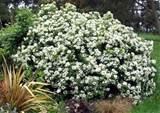 beautiful shrub for the late spring garden