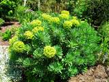 perfectly grown Euphorbia characias ssp.characias loving the sun.