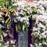 home garden flowers trees and shrubs clematis armandii plant