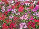 description flower garden unknown plant 1 jpg