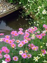 cottage garden flowers