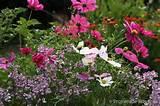cottage garden flowers 1