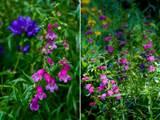 cottage garden flowers penstemon