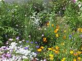 cottage garden flowers and wild flowers