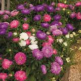 home garden flowers flower plants all flower plants aster plug plants