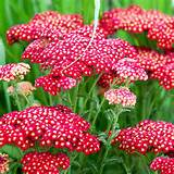 home garden flowers flower plants all flower plants achillea plant