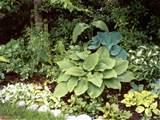 hosta plant gallery mooseyscountrygarden com images garden plants