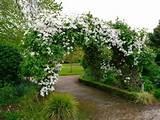 Clematis Montana Garden Arch | White