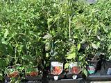 western garden nursery vegetable plants pleasanton ca