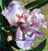 Janie Meek Tall Bearded Iris|Hummingbird Gardens Iris Nursery