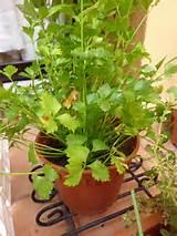 coriander rm7 50