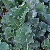 savoy kale organic sold out