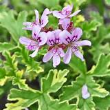 Geranium Lady Plymouth Plant SHIPPING STARTS SPRING 2013