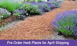 Pre-Order Herb Plants for Spring Shipping