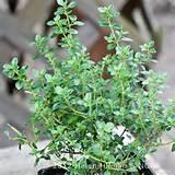 online webstore plants garlic