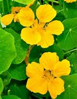 Nasturtium 'Banana Cream' | From Nichols Garden Nursery