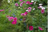 cosmos flowers in english garden photograph