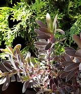 Leucadendron 'Ebony'…my fav plant this week and foliage follow ...