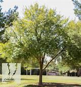 Arizona Ash - Fraxinus velutina