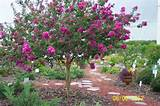 shrub is very popular and used in most florida landscaping designs