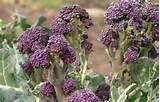 Purple Sprouting Broccoli, 1.95 pkt, Nichols Garden Nursery